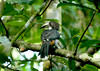 hornbill_Ceylon_grey_female_Meetirigala050113_0001