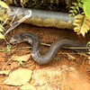 Venomous Cobra slithering in a side ditch