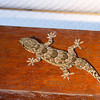 This giant gecko was crawling on the rafters of the bungalow