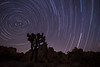 Star trails over joshua trees in Joshua Tree National Park, CA.