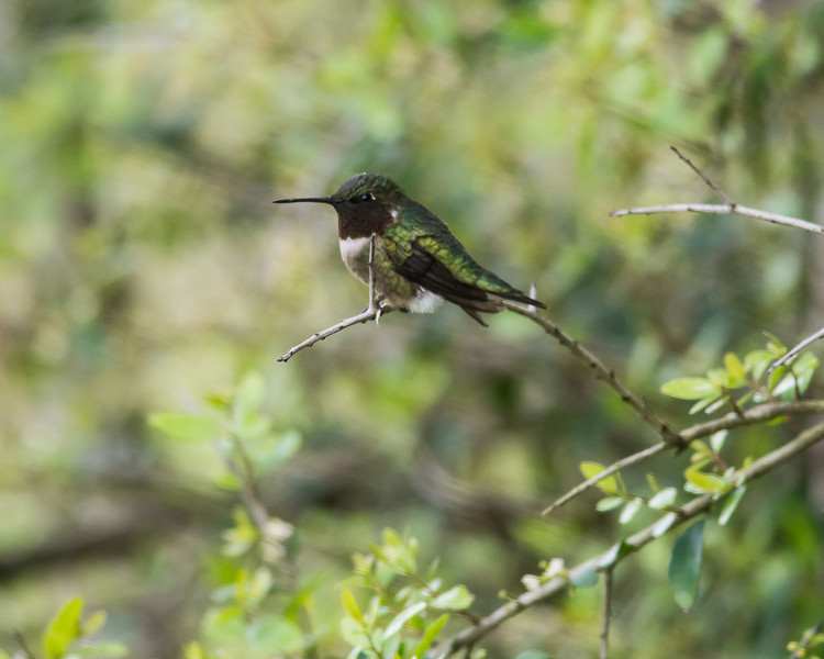 Female Ruby-throated Hummiingbird