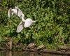 Snowy Egrets and Slider Turtles