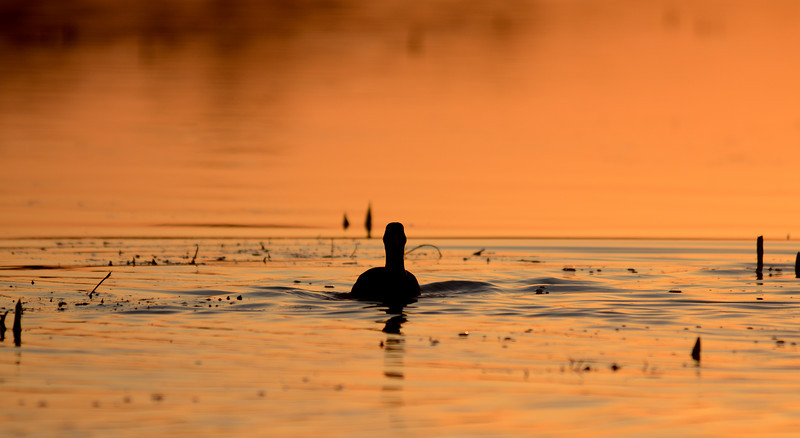 Duck at Dawn