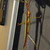 Podacanthus wilkinsoni - Ringbarker Stick Insect