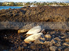 (Hawaii, Waikoloa, Big Island) Sea turtles were sunning themselves in a very remote area on the shore.