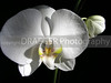 (Singapore) Orchids are a national flower in Singapore and healthy specimens can be found everywhere.  These orchids were in a garden accessible only to guests at the Pan Pacific hotel.  The dramatic lighting is completely natural.