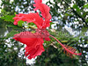 (Hawaii, Big Island) Hibiscus flourish in the warm stable climates of Hawaii.  On every island, you are sure to see the growing wild.  The large red specimen was found near Akaka Falls on the Big Island.