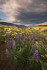 LUPINES 1