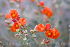 Apricot Mallow, as known as Globemallow; Desert Mallow; Sphaeralcea ambigua