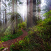 Trail O fLight And Mist Into Nowhere - Redwoods,  California