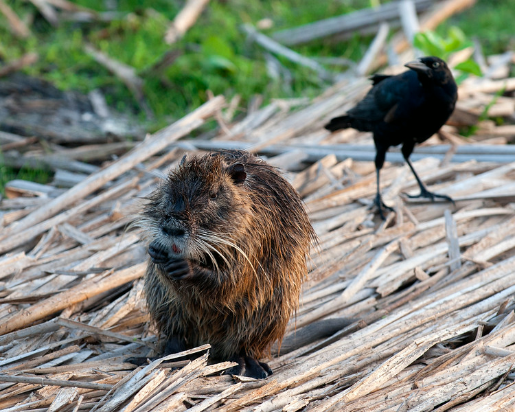 A Nutria and a Grackle