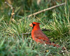 Northern Cardinal male