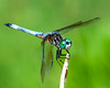 Blue Dasher Dragonfly  7-7-2014