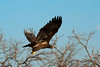 Lake Waco Bald Eagle family  7-7-2014