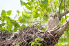 Great Horned Owl Juveniles