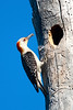 Red-bellied Woodpecker Family on Reynolds Creek  6-10-2014
