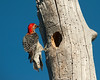 Red-Bellied Woodpecker Family at Reynolds Creek 6-10-2014