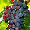 Pinot Noir Grapes 2