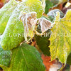 frosted grape leaves