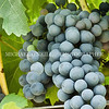 cabernet sauvigon grapes