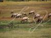 Grazing Elk--Herd of elk grazing in Rocky Mountain National Park.