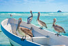 Pelicans at Playa Del Carmen, Mexico
