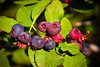 Saskatoon Berries ripening in Summer