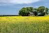Canola Field with Old Farm House