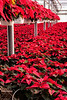 Green House full of Red Poinsettias