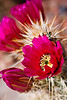 Flowers of the Engelmann's Hedgehog Cactus