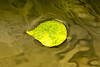 Yellow Leaf on Water