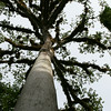 Rising Ceiba Tree