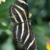 Zebra Longwing Butterfly Close-Up