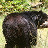 Wet Black Bear