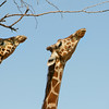 Two Giraffes