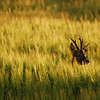 Roe deer in barley, Islay
