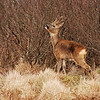 Browsing roe deer, Islay