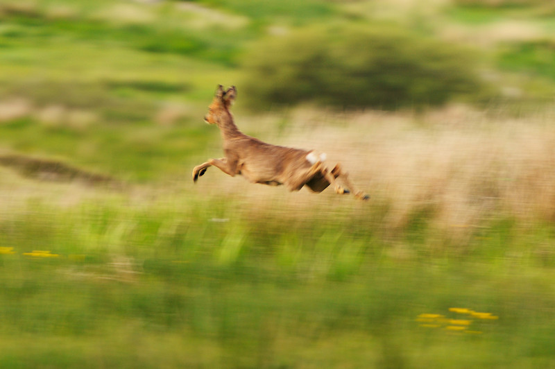 Running roe deer, Islay
