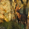 Roe deer at sunset, Islay