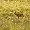 Roe deer walking in grass, Islay