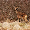 Roe deer browsing, Islay