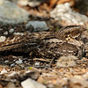Nightjar with two young chicks, Aldabra