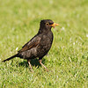 Blackbird with earthworm, Islay
