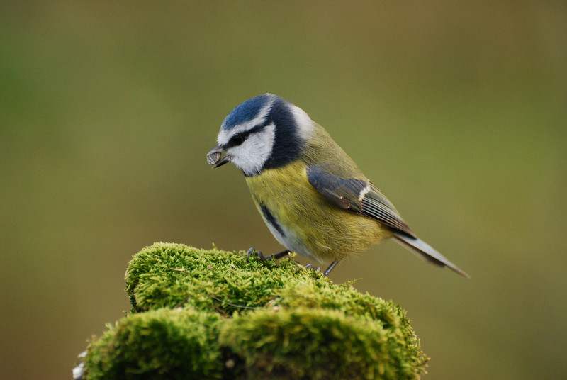 Blue tit, Islay