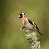 Goldfinch, Islay