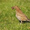 Song thrush with earthworm, Islay