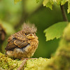 Fledged robin, Islay