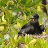 Frigatebird on nest, Aldabra