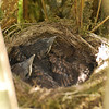 Blackbird chicks on nest, Islay