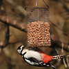 Woodpecker on bird feeder, Islay